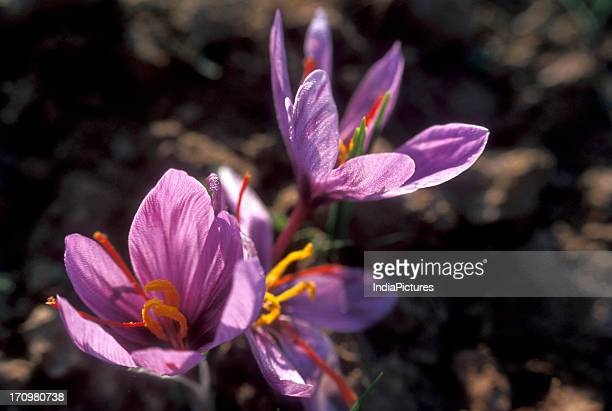 SaffronCrocus sativus flower grown in Jammu Kashmir India