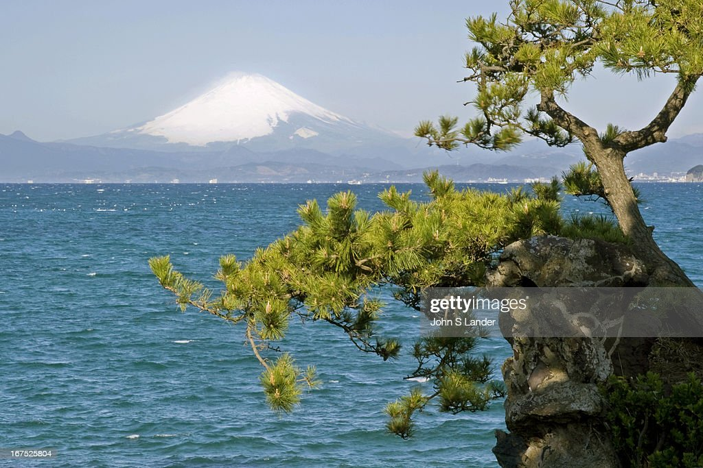 Sagami Bay view of Mt Fuji with Japanese Pines in the foreground