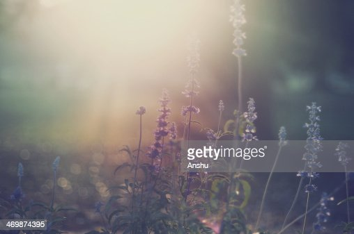 Sage flowers in Morning Light