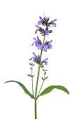 Sage / Garden Sage (Salvia officinalis).