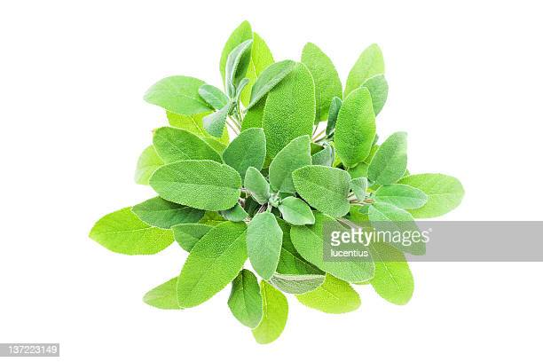 Sage plant isolated on white