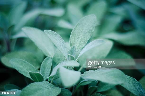 Sage, Salvia officinalis, in garden, close-up
