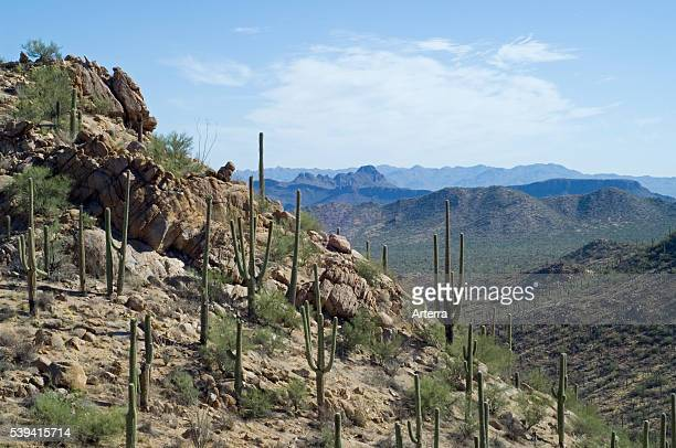 Saguaro cacti in the Tucson Mountains of the Sonoran desert Saguaro National Park Arizona US North America