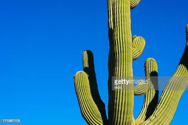 saguaro cactus and deep blue desert sky