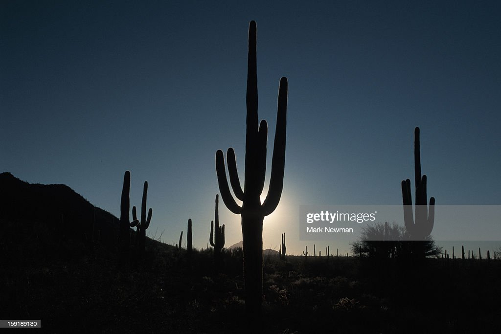 Saguaro Cactus at sunrise : Stock Photo