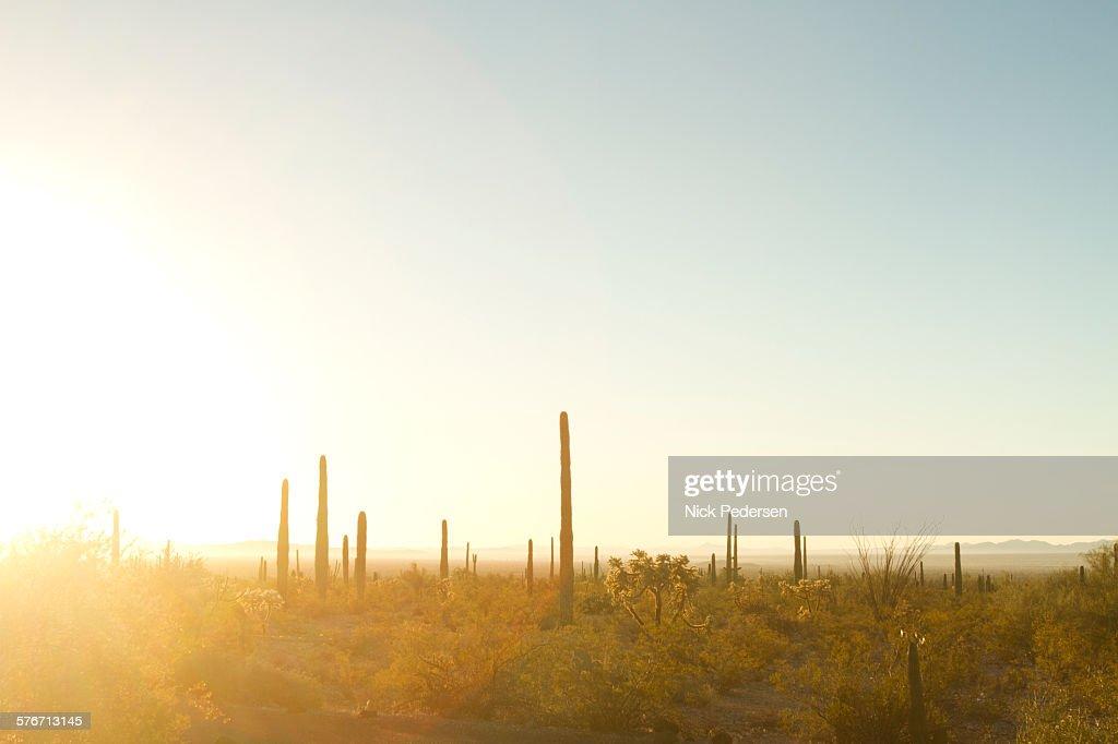 Saguaro Cactus at Sunrise