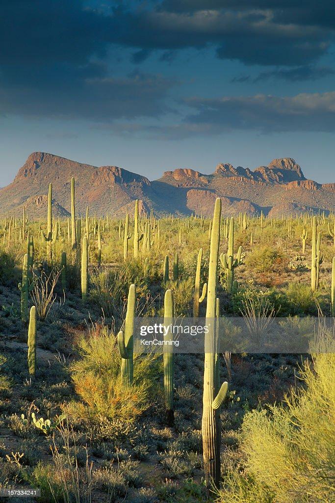 Saguaro Cactus in Sonoran Desert and Mountains