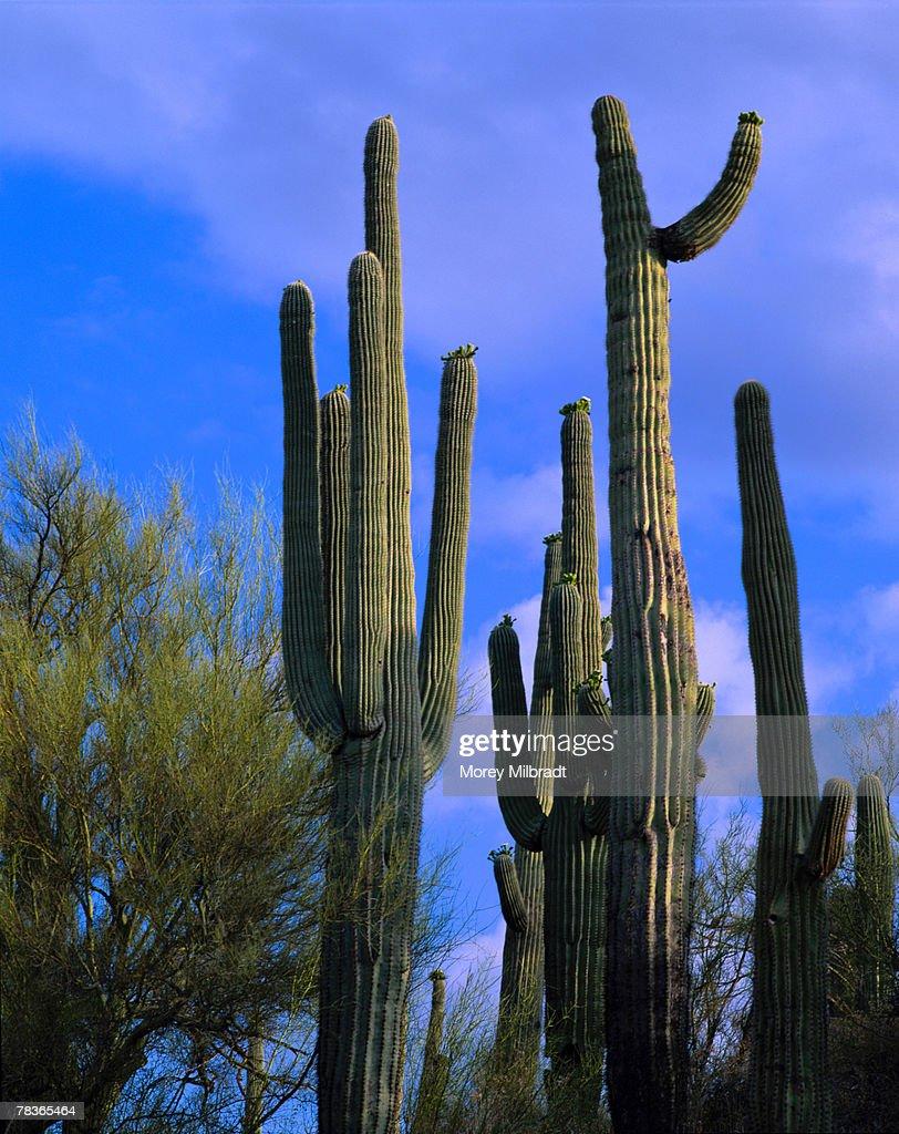 Saguaro cactus in the Sonoran Desert, Arizona, United States