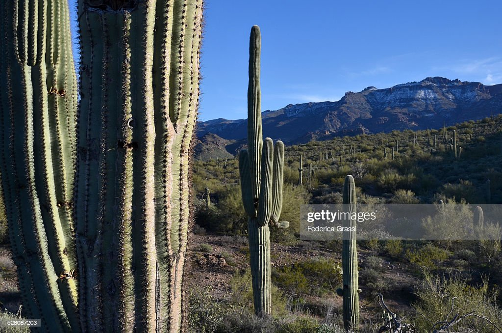 Saguaros along the Apache Trail, Arizona