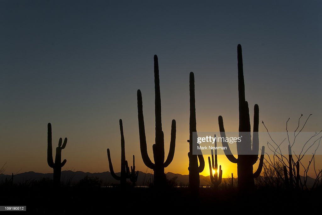Saguaros at Sunset : Stock Photo