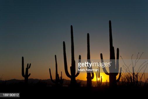Saguaros at Sunset : Stock Photo