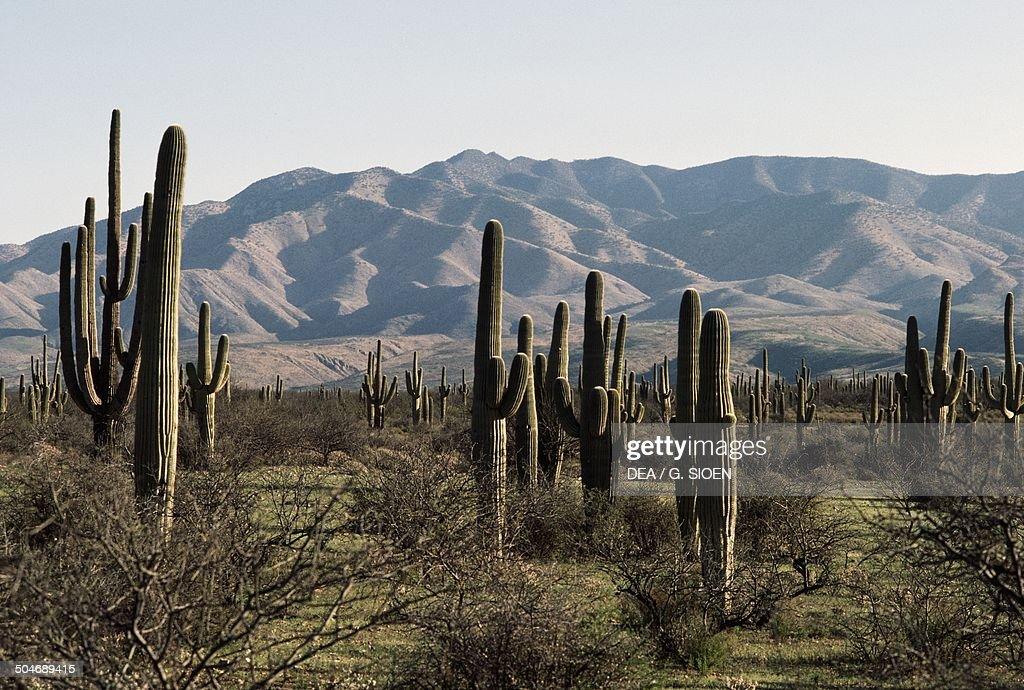 Saguaros Sonoran Desert Mexico