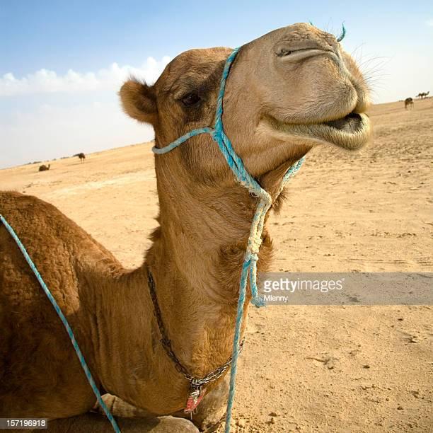 sahara-Kamel