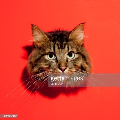 Saiberian cat : Stock Photo