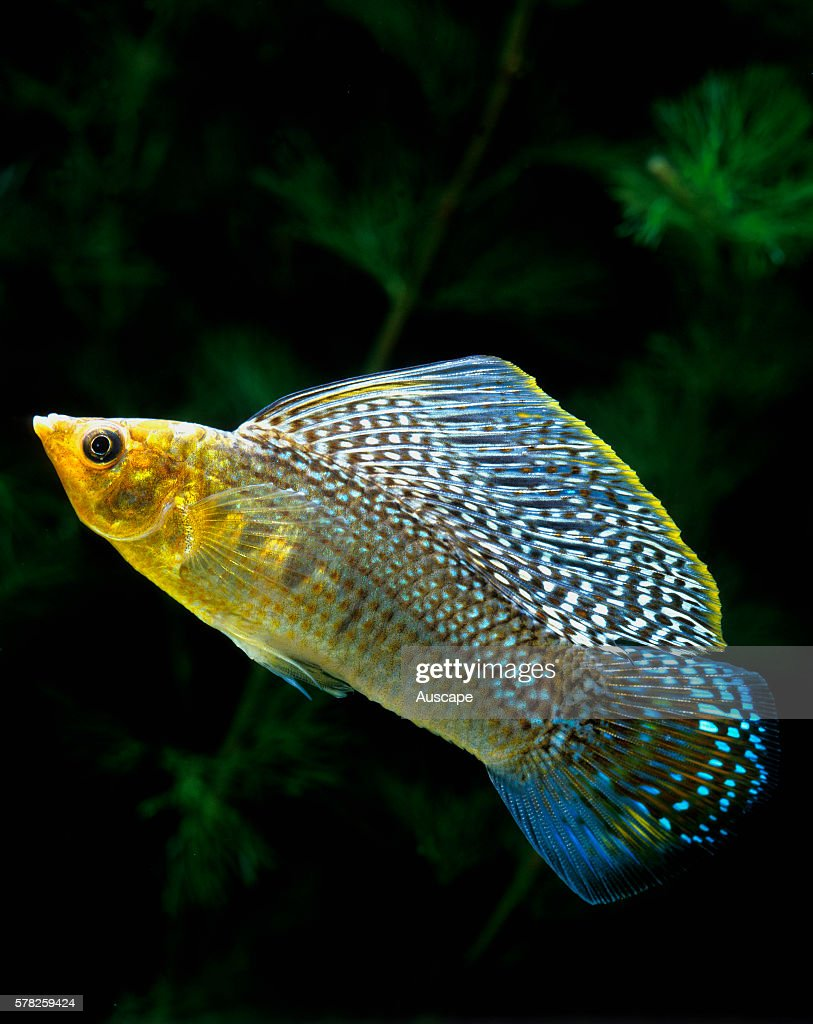 Sailfin molly Poecilia velifera male with enlarged dorsal fin in an aquarium Tropical fresh or brackish water species to 15 cm Native to Central...