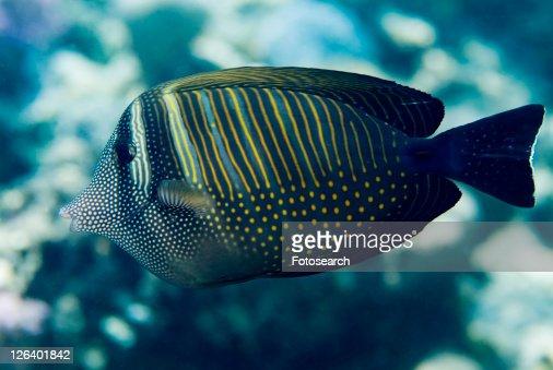 Sailfin Tang (Zebrasoma desjardinii). Red Sea.