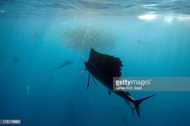 Sailfish with Sardine Baitball