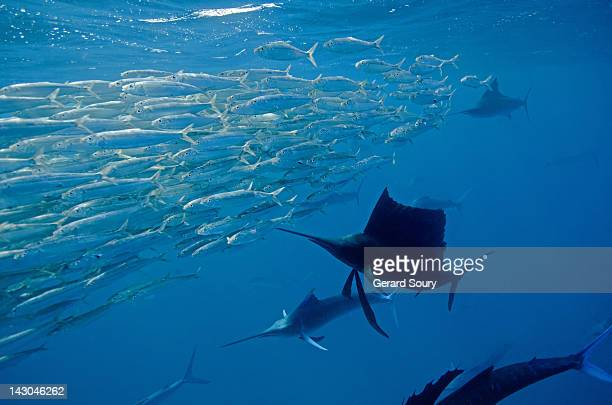 Sailfishes hunting sardines