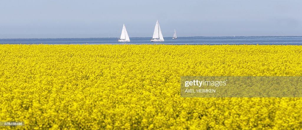 Sailing boats making their way off the Baltic Sea coast in Heiligenhafen, northern Germany, are seen behind a blooming rape field on May 5, 2016. / AFP / dpa / Axel Heimken / Germany OUT