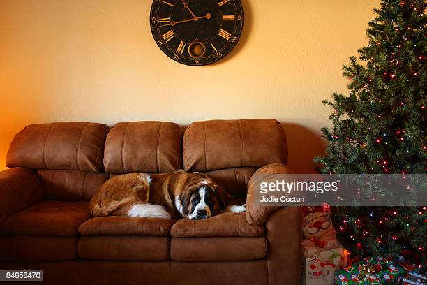 Saint Bernard Dog on Sofa