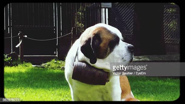 Saint Bernard Dog Relaxing On Grassy Field