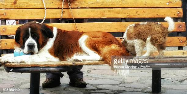 Saint Bernard Dogs Resting On Wooden Bench