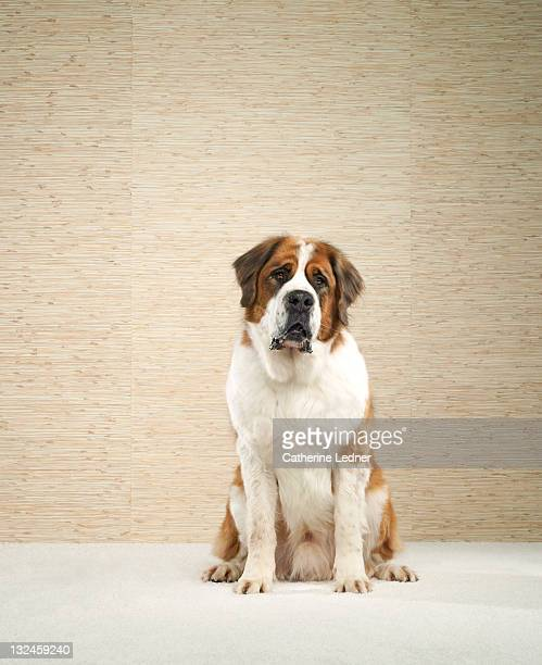 Saint Bernard (Canis lupus familiaris)