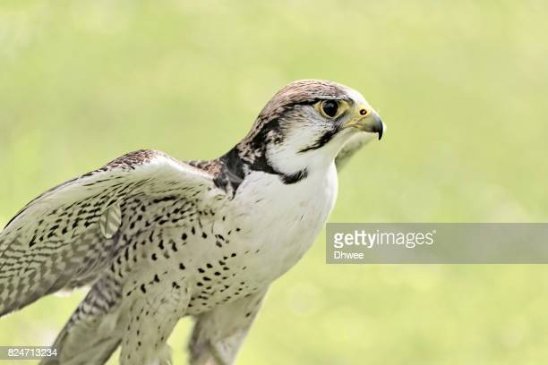 Saker Falcon Against Soft and Pastel Grass