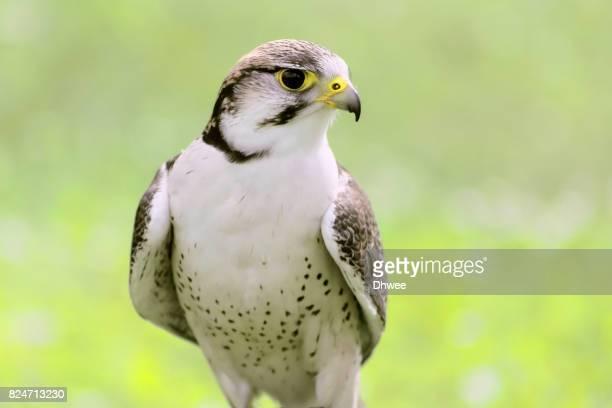 Saker Falcon Against Soft Pastel Grass