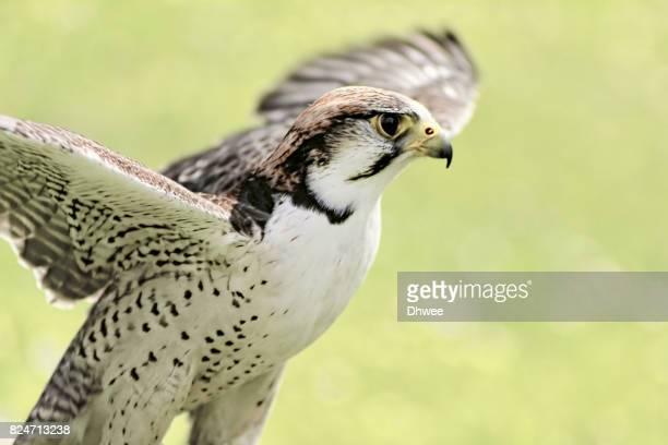Saker Falcon Getting Ready To Take Flight