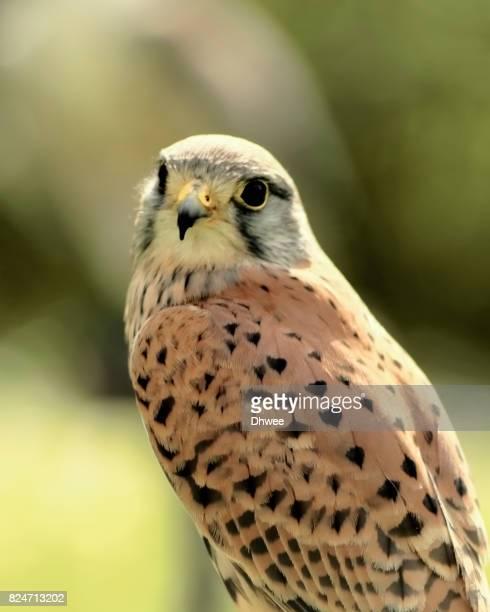 Saker Falcon In Warm Light