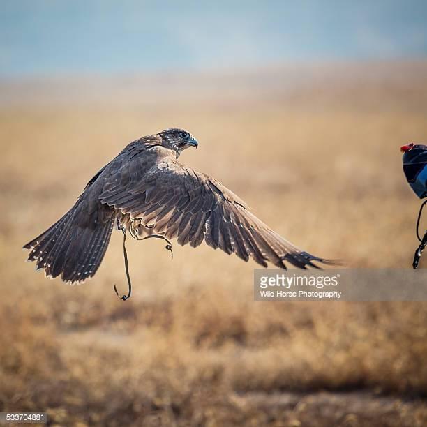 Saker (female) Falcon landing to fist of falconer