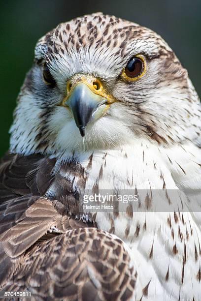 Saker falcon portrait