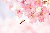 満開の河津桜と日本蜜蜂