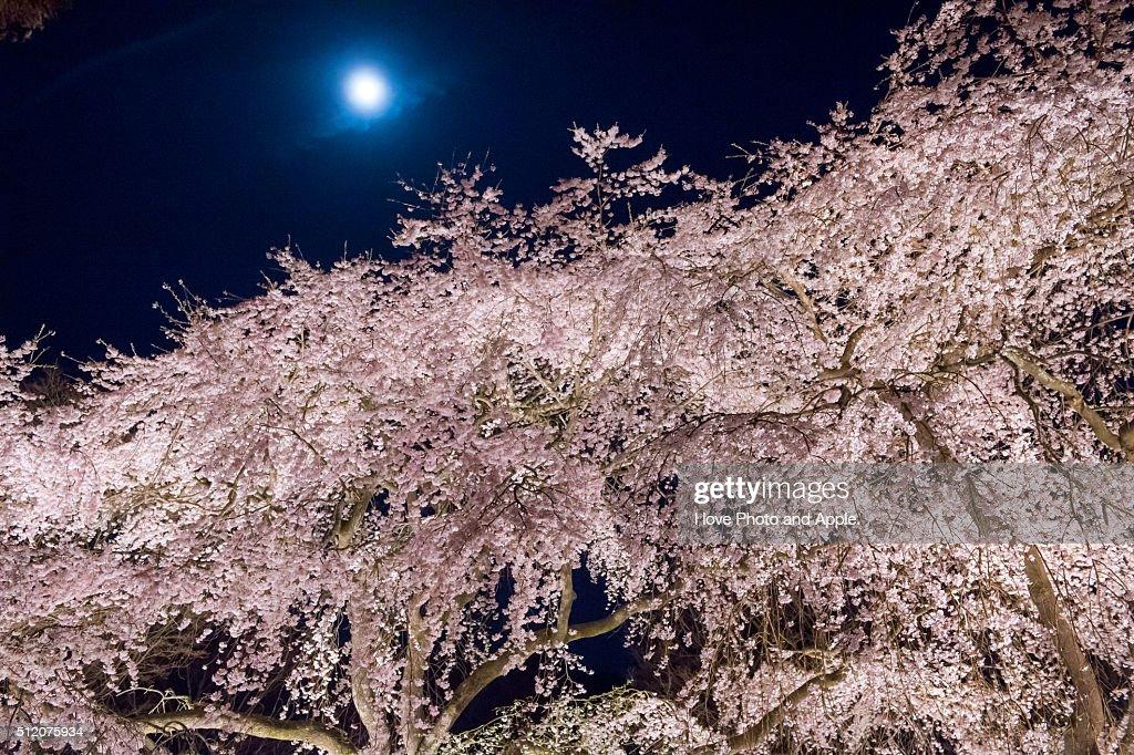 Sakura and the full moon : Stock Photo