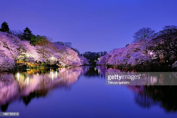 Sakura at Night
