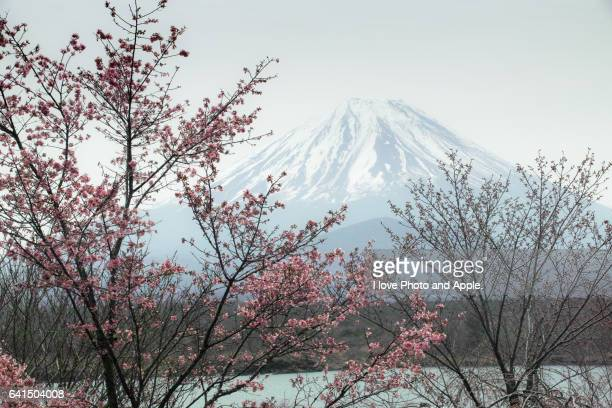 Sakura blooming at Lake Shoji