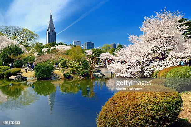 Sakura blooming in gardens of Tokyo