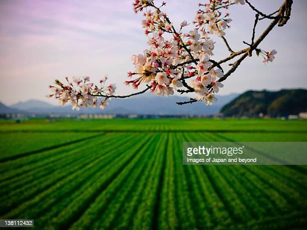 Sakura branch by ocha field