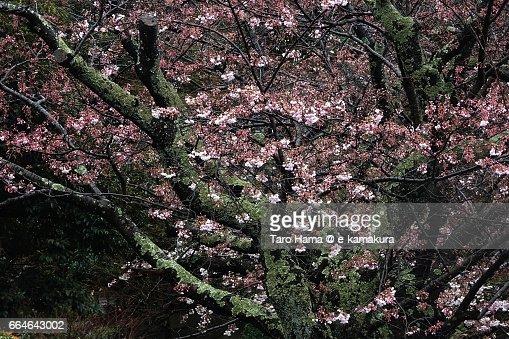 Sakura, Cherry Blossom flower and moss covered old tree : ストックフォト