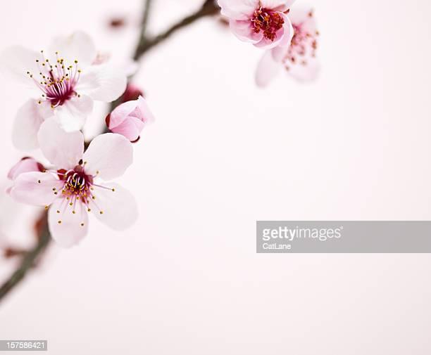 Sakura Kirsche Blüte