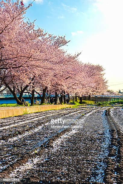 Sakura Field