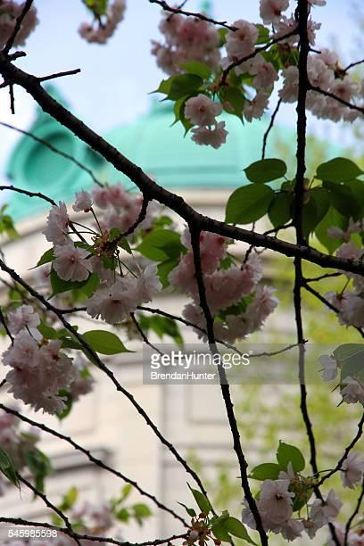 Sakura History