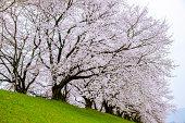 Sakura in a cloudy day