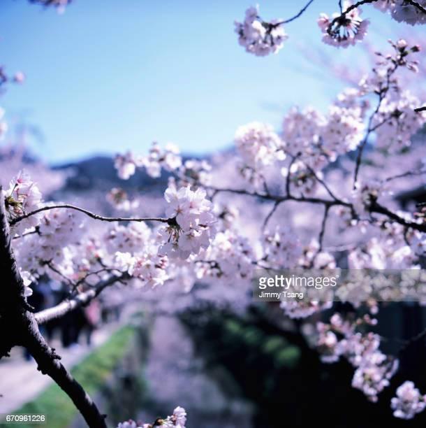 Sakura in Philosopher's Walk