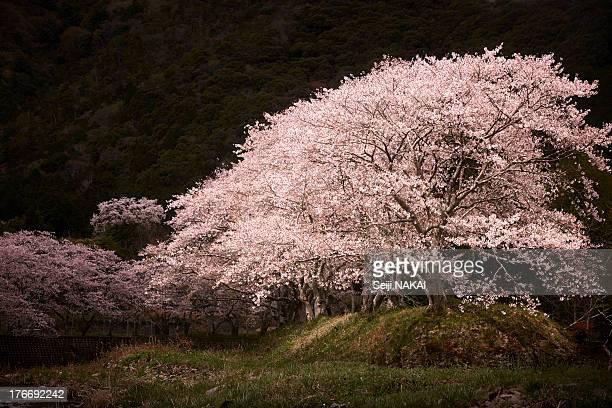 Sakura in the spotlight