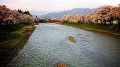 Sakura near by river bank