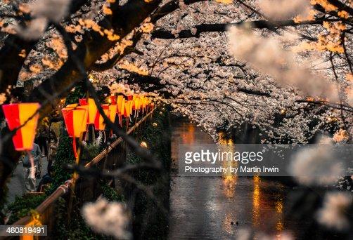 Sakura on the river