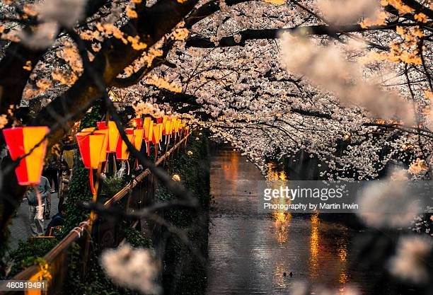 Sakura on the river