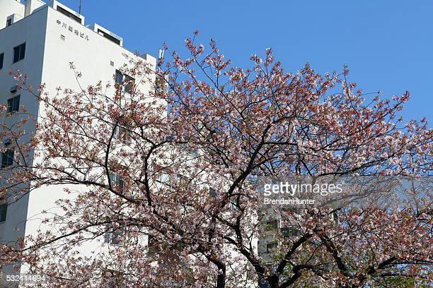 Sakura sur blanc